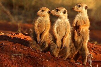 Meerkats (Suricata suricatta), Tswalu Kalahari Reserve, Kalahari, Northern Cape