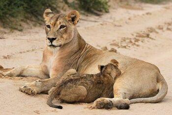 Lion Kgalagadi Transfrontier Park, Northern Cape