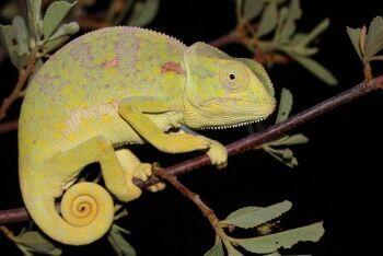 Flap-necked chameleon, Tswalu Kalahari Reserve, Kalahari, Northern Cape