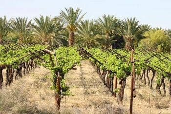 Vineyard, with date palms in the background, Kakamas, Northern Cape