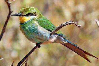 Swallow-tailed bee-eater (Merops hirundineus hirundineus), Tswalu Kalahari Reserve, Northern Cape