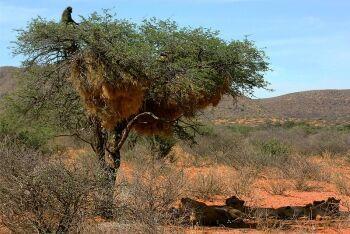 Chacma baboons, Kalahari lions, Tswalu Kalahari Reserve, Kalahari, Northern Cape