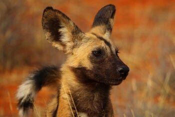 African wild dog (Lycaon pictus pictus), Tswalu Kalahari Reserve, Northern Cape