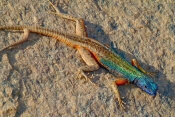Broadley\'s Flat Lizard, Augrabies National Park, Northern Cape