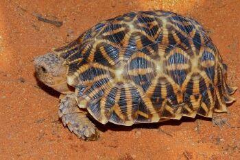 Kalahari Tent Tortoise, Auob Riverbed, Kgalagadi Transfrontier Park, Northern Cape